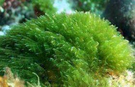 Alga Nori para adelgazar