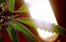 Importante crecimiento en el consumo de marihuana